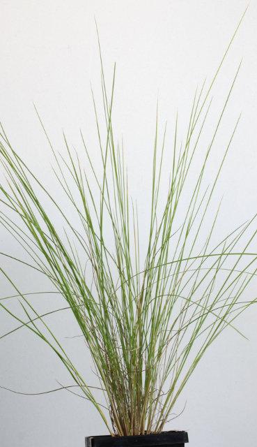 poa poiformis west coast  coast tussock grass  cag02515